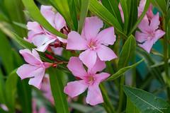 R75_8055 (53Ruth) Tags: nikond750 blumen blüten blatt garten natur