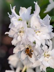 R75_8052 (53Ruth) Tags: nikond750 blumen blüten blatt garten natur