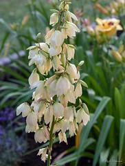 R75_8049 (53Ruth) Tags: nikond750 blumen blüten blatt garten natur