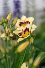 R75_8037 (53Ruth) Tags: nikond750 blumen blüten blatt garten natur