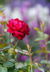 R75_8035 (53Ruth) Tags: nikond750 blumen blüten blatt garten natur