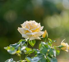 R75_8033 (53Ruth) Tags: nikond750 blumen blüten blatt garten natur