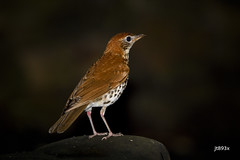 Wood Thrush (jt893x) Tags: 150600mm bird d500 hylocichlamustelina jt893x nikon nikond500 sigma sigma150600mmf563dgoshsms songbird thrush woodthrush alittlebeauty coth thesunshinegroup coth5