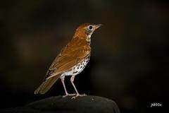 Wood Thrush (jt893x) Tags: 150600mm bird d500 hylocichlamustelina jt893x nikon nikond500 sigma sigma150600mmf563dgoshsms songbird thrush woodthrush alittlebeauty coth thesunshinegroup coth5