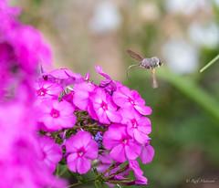 R75_8069 (53Ruth) Tags: nikond750 taubenschwänzchen schmetterling falter phlox blume blüten garten natur