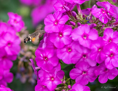 R75_8095 (53Ruth) Tags: nikond750 taubenschwänzchen schmetterling falter phlox blume blüten garten natur