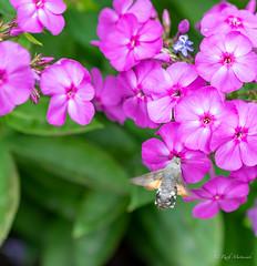 R75_8071 (53Ruth) Tags: nikond750 taubenschwänzchen schmetterling falter phlox blume blüten garten natur