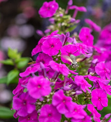 R75_8060 (53Ruth) Tags: nikond750 taubenschwänzchen schmetterling falter phlox blume blüten garten natur