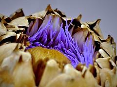 _DSC1291 fleur (Le To) Tags: nikond5000 fleur fiore flower artichaud couleurs macro violet