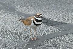 Kildeer in the Road (Gene Ellison) Tags: bird kildeer female stripes eyes beak brown feathers road street nature photography naturephotography fujifilm provia sooc