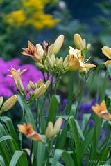 R75_8103 (53Ruth) Tags: nikond750 tamron70200mm blumen bö blüten blatt baum garten natur