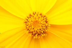 Patterns in Nature - 7082 (✵ΨᗩSᗰIᘉᗴ HᗴᘉS✵70 000 000 THXS) Tags: patternsinnature yellow macro jaune pattern orange macromondays flower flora tg5 belgium europa aaa namuroise look photo friends be yasminehens interest eu fr party greatphotographers lanamuroise flickering