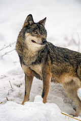 Wolf posing in the snow (Tambako the Jaguar) Tags: wolf canid canine dog standing posing portrait face snow winter cold siky park crémines switzerland nikon d5