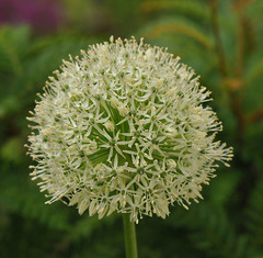 Allium 'Mount Everest' (Todd Boland) Tags: bulbs allium alliaceae