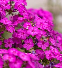 R75_8063 (53Ruth) Tags: nikond750 taubenschwänzchen schmetterling falter phlox blume blüten garten natur