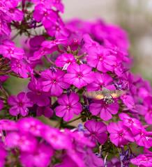R75_8062 (53Ruth) Tags: nikond750 taubenschwänzchen schmetterling falter phlox blume blüten garten natur