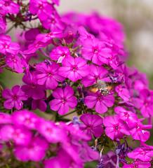 R75_8061 (53Ruth) Tags: nikond750 taubenschwänzchen schmetterling falter phlox blume blüten garten natur