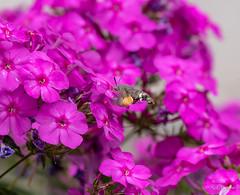 R75_8066 (53Ruth) Tags: nikond750 taubenschwänzchen schmetterling falter phlox blume blüten garten natur