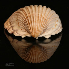 Seashell Patterns (James Milstid) Tags: patternsinnature macromondays seashell squarecrop reflection canonef100mmmacro canoneos70d macro fibonacci
