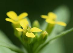 mystery mustard (jmunt) Tags: wildflower flower mustard