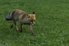 Volpe Rossa- Vulpes Vulpes (riccardo stra) Tags: fox foxes volpe rossa vulpes wild animals alpes wildlife wildnature naturalwild canon cano7d2 tamron valledaosta nature mountain