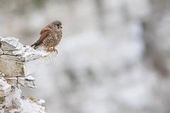 Kestrel (cliveyjones) Tags: kestrel falcon bemptoncliffs rspbbemptoncliffs wildlife nature