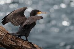 Flight preparation (dim.pagiantzas | photography) Tags: cormorant birds nature wings tree water lake bokeh wildlife r