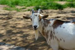 Capra aegagrus hircus - Westafrikanische Zwergziege (PictureBotanica) Tags: tiere säugetiere haustiere nutztiere ziege zwergziege essehof