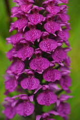 Dactylorhiza foliolosa (Todd Boland) Tags: orchids orchidaceae dactylorhiza