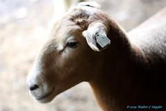 Mona Lisa Smile (Walt Snyder) Tags: canoneos5dmkiii canonef100400mmf4556l farm animals sheep wool portrait nose lamb barn shadows monalisasmile smile