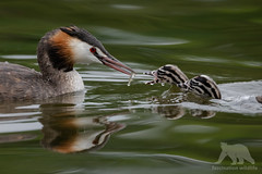 Crested Grebe (fascinationwildlife) Tags: animal bird birding urban water waterfowl great crested grebe haubentaucher chicks feeding vogel pond wild wildlife wildlifephotography nature natur naturephotography naturfotografie park schloss nymphenburg munich münchen deutschland germany bayern bavaria morning summer photography fotografie