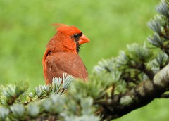 ~Northern Cardinal~ (RitaK.) Tags: bird birding birdwatching nature nikon summer red avian feathers northerncardinal