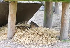 Muntjak (Karin Michies) Tags: ouwehands dierenpark zoo rhenen dieren animals dierenfotografie animalphotography hert muntjak zoogdier mammal