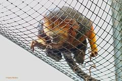 Goudkop leeuwaap (Karin Michies) Tags: ouwehands dierenpark zoo rhenen dieren animals dierenfotografie animalphotography goudenleeuwaap leeuwaap zoogdier mammal