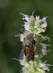 Wasp mimic (cotinis) Tags: insect lepidoptera moth sesiidae sesiinae melittia melittiacucurbitae northcarolina piedmont canonefs60mmf28macrousm bmna nc july inaturalist