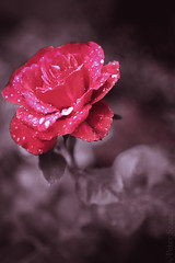 Dream (Peter Szasz) Tags: colourful calm canon clear canon80d 80d 2470mm 2470 tranquil telephoto texture macro light leaves rose flowers flower peaceful petal rain rainy wet water drops leaf life nature summer outside outdoors chill close closeup upclose red purple selective colorful color creative crimson pink shadows shallow