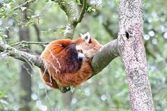 Kleine (rode) panda (Karin Michies) Tags: ouwehands dierenpark zoo rhenen dieren animals dierenfotografie animalphotography panda rodepanda kleinepanda