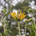 Sunflowers 01