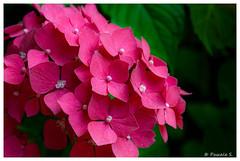 Hortensia (Pascale_seg) Tags: été summer hortensia flower fleur fiore rose rosa pink jardin garden giardino moselle lorraine grandest france nikon
