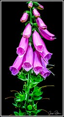 190709_0077_Fingerhut.jpg (juergenfrother) Tags: fingerhut thimble darkness dunkelheit botanical blossom blüte blüten flowerhead floral petal blooming pflanze flower blume