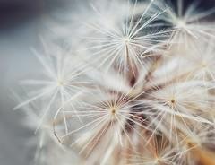 Umbrellas (orbed) Tags: pattern macro weed dandelion hmm macromonday's patternsinnature