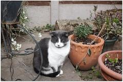 Gaia by the Flower Pots (zweiblumen) Tags: cat garden shropshire canoneos50d canonspeedlite430exii polariser zweiblumen pet