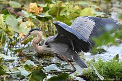 Blue Heron (Geo Scouter) Tags: blueheron wildwoodlake harrisburg pennsylvania