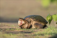 Snapping Turtle Opening Wide! (Daniel Cadieux) Tags: turtle snappingturtle yawn yawning openmouth amphibian petrieisland ottawa