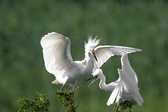 Crazy Little Blue Herons (Beangrau) Tags: littleblueheron nikond500 tamron150600mm herons birds avian ocenacitynewjerseywelcomecenter