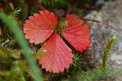 Red Leaves Pattern HMM! (Gerald Lang) Tags: sonyalpha7ii sonya7ii pflanzen schwarzwald blackforest plants forêtnoire sonyilce7m2 makro macro plante macromondays import14072019 patternsinnature aruba