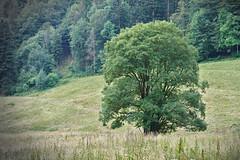 Tree on Meadow (Gerald Lang) Tags: sonyalpha7ii sonya7ii landschaft schwarzwald blackforest baum tree landscape forêtnoire sonyilce7m2 paysage wiese lawn pelouse arbre import14072019 aruba