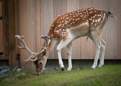 Daim (morelux) Tags: animal animaux animals zoo biche pairidaiza nature faune panasonic lumix panasoniclumixgx80 lumixgx80 panasonicgx80