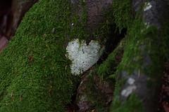 White Heart (Gerald Lang) Tags: sonyalpha7ii sonya7ii baum tree sonyilce7m2 arbre herz heart cœur moos moss import14072019 wurzel root aruba