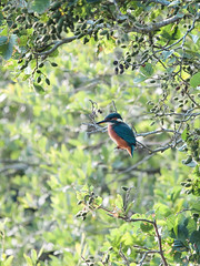 Martin-pêcheur d'Europe (alcedo atthis) (pierre.pruvot2) Tags: france pasdecalais maraisdeguînes chemindestêtards panasonic lumixg9 leica oiseau bird kingfisher martinpêcheur